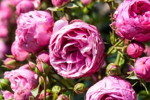 Danke zum Muttertag: Ein Strauß Rosen bringt die Augen der Mutter garantiert zum Leuchten.