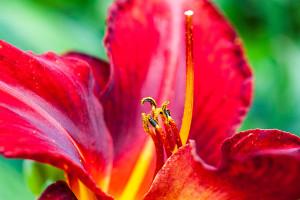 Schöne Lilien gibt es in verschiedenen Farben, in einem Strauß sind die Blumen sehr schön kombinierbar.